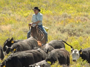 Pete E. Herding Cattle