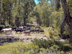 Trailing Cattle in Cottonwood Draw
