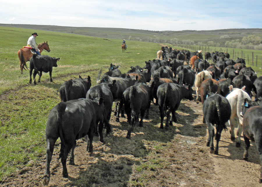 Image result for cattle ranches in colorado